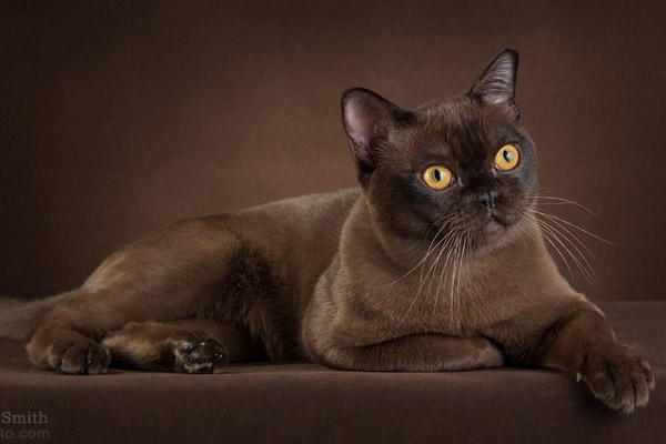National Alliance Of Burmese Breeders Burmese The Universe Showing Off